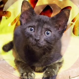 生後3ヶ月♡甘えん坊グリーンアイの黒猫フルート