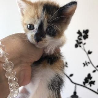 ちょっとたれ目の三毛猫ちゃん