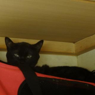 里親募集!猫 黒 1歳4ヶ月です。