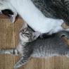 育ち盛り毛色の綺麗な仔猫です★♂カゲトラ(仮名)
