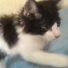 ふわもこ白黒男子の元気な子猫です☆ サムネイル5