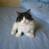 ふわもこ白黒男子の元気な子猫です☆ サムネイル6