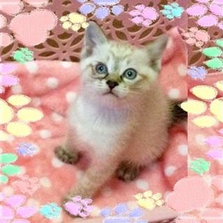 毛布をチュパチュパ吸うシャム猫ミックス、青くん♪