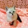 毛布をチュパチュパ吸うシャム猫ミックス、青くん♪ サムネイル2