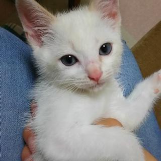 【現在最終打ち合わせ中】生後二ヶ月の茶白の子猫