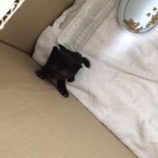 ☆生後約2週間の赤ちゃん黒猫☆メス