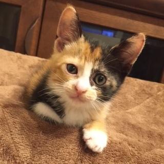 ★保護猫さん★生後約2か月のミケちゃんです。