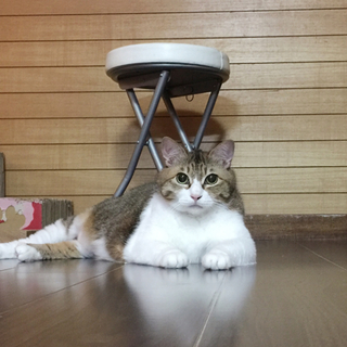14歳 甘えんぼおっとり癒し猫。モフモフ短足です。