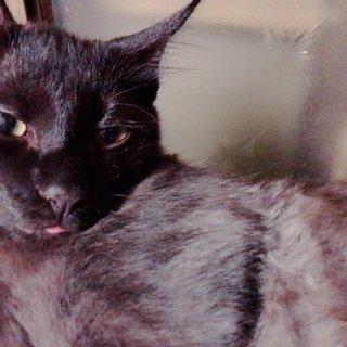 4カ月の子猫!ふわふわのアッシュグレーの子です