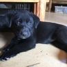 母犬は黒ラブ、4兄妹の子犬です サムネイル6