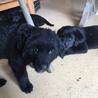 母犬は黒ラブ、4兄妹の子犬です サムネイル7