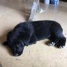 母犬は黒ラブ、4兄妹の子犬です サムネイル3