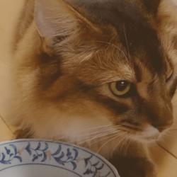 うちのソマリと療法食(ハッピーキャット)