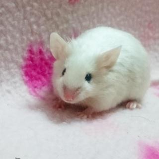 サテンアイボリー黒目カラーマウス