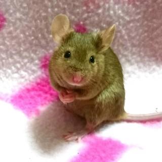 サテンベージュ黒目カラーマウス