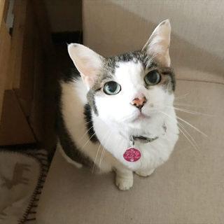 行き場がありません、キジ白のシニア猫さんお家急募!