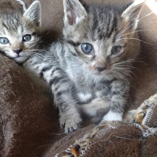 キジ 子猫2匹(姉妹)1か月