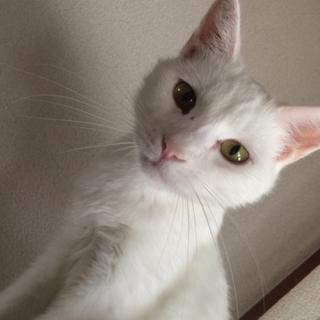 しらたまくん オス☆白猫