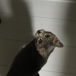 シルバーシマ猫と黒猫里親募集