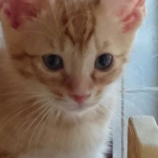 おっとりしたチャトラ子猫 ペッパー