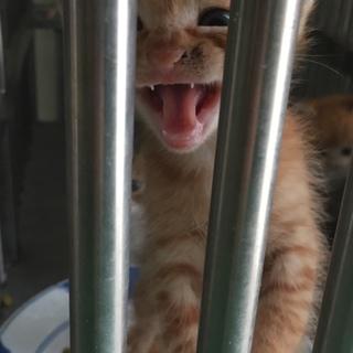 処方間近!茶トラの可愛い仔猫です☆