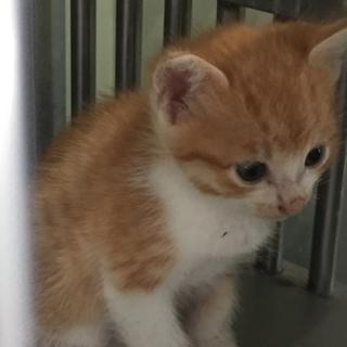 処分間近!可愛い茶トラ白の仔猫です☆