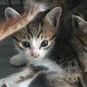処分間近!とっても可愛いキジトラの仔猫です☆