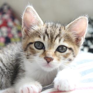 ころころ可愛いキジ白の男の子★兄妹猫生後1ヶ月