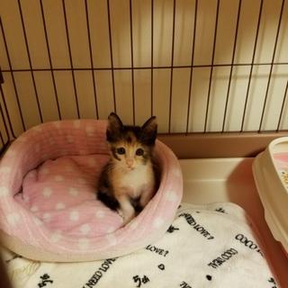 可愛い三毛猫の女の子