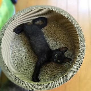 甘えっ子でおりこうな黒猫の男の子 先住猫OK