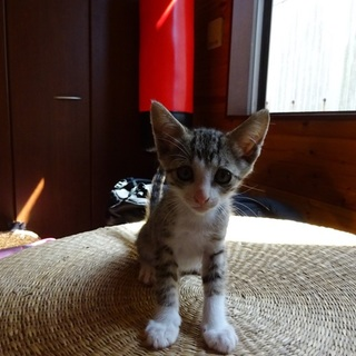 お耳が大きな子猫です