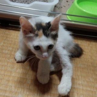 可愛いミケの子猫ちゃん♡