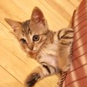 フレンドリーで控えめな子猫…生後50日位