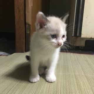 可愛い1ヶ月♂子猫家族になってください
