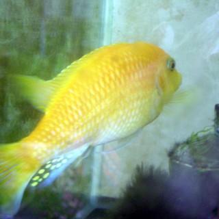 オレンジゼブラ シクリッド 体長15cm 1匹