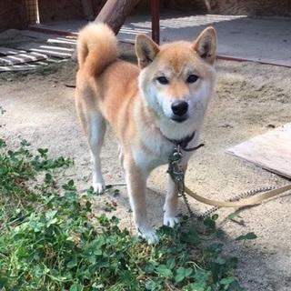 1歳 柴犬