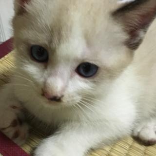 可愛い子猫1ヶ月♂家族になってください