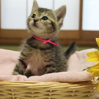 可愛いキジトラ☆兄妹  生後約2か月