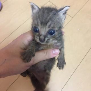 美人姉妹 生後3週間の子猫