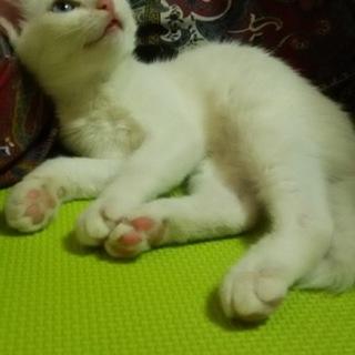 白猫 ブルーアイ 白子猫