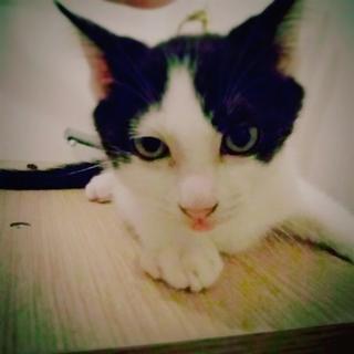 猫好き好みの美しい仔猫です★♀やえこ(仮名)