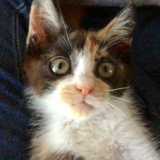 物怖じしない!かわいい三毛猫さん生後約3ヶ月