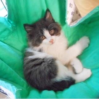 らたん…猫エイズキャリア 白黒中毛♂ 3ヶ月