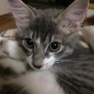 3か月の銀色模様の美しい雄猫