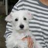 シュナプー子犬の新たな家族をさがしています