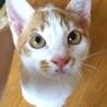 生後3ヶ月の白茶の子猫