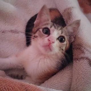 三毛猫で一ヶ月半のメスです。