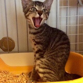 【埼玉発】子猫がいっぱいキジトラ、茶トラ、長毛も