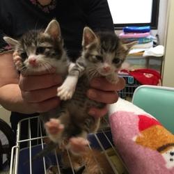 猫の里親探し ミュウの会 相模原   子猫多数!