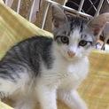 銀髪のシーバ★2ヶ月★♂美猫です